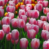 Tulip Dreaming Maid