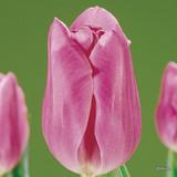 Tulip 'Mistress' - 13, 100 or 250 Bulbs