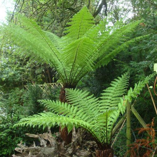 6ft premium tree fern dicksonia antarctica bunkers hill plant nursery. Black Bedroom Furniture Sets. Home Design Ideas
