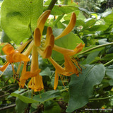 Lonicera 'Copper Beauty'
