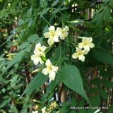 Jasminium officinalis 'Clotted Cream'