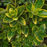 Euonymus 'Ellegantissima Aureus'
