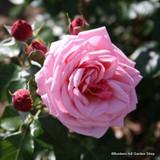 Aloha - Climbing Rose