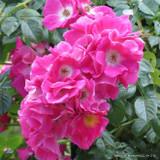 American Pillar - Climbing Rose