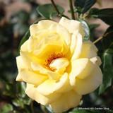 Arthur Bell - Climbing Rose