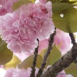 Prunus 'Kiku Shidare-Zakura'