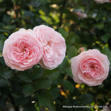A Shropshire Lad - English Rose