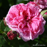 Gertrude Jekyll - David Austin Old English shrub rose