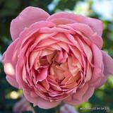 Boscobel - David Austin English Shrub Rose