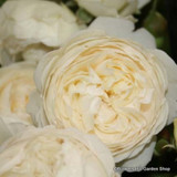 Claire Austin - David Austin English Shrub Rose