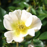 Kew Gardens - David Austin English Shrub Rose