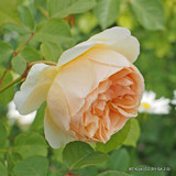 Jude the Obscure - David Austin English Shrub Rose