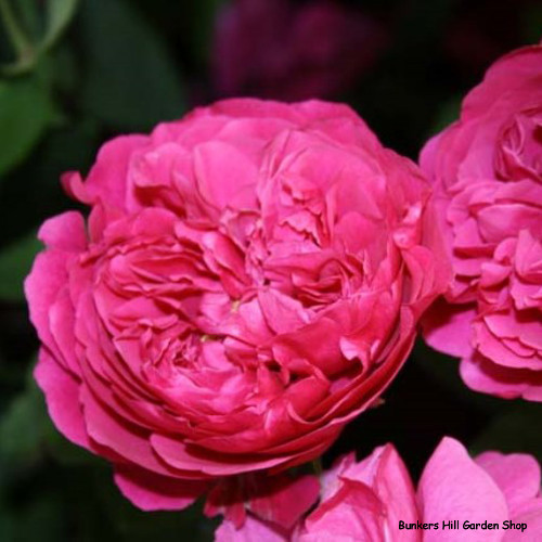 L. D. Braithwaite - David Austin English Shrub Rose