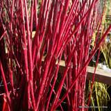 25 x Cornus alba 'Siberica' (Westonbirt Dogwood) 60-90cm bare root