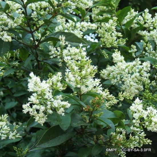 Ligustrum ovalifolium - Privet