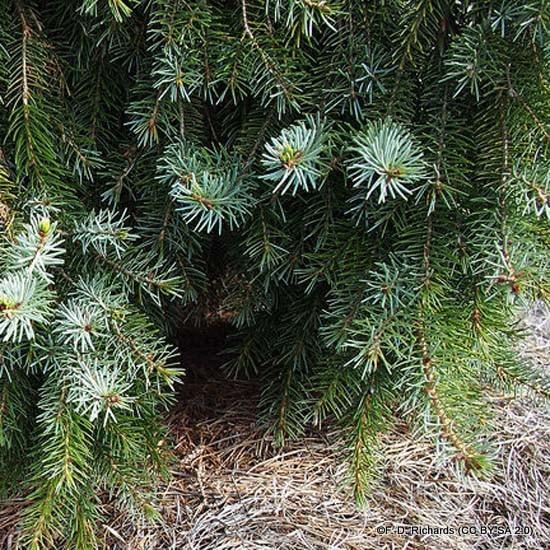 Picea omorika - Serbian Spruce