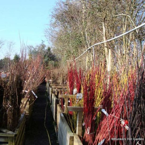 View of bare root hedging at Bunkers Hill Nursery