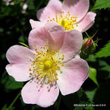 25 x Rosa canina (Dog Rose) 40-60cm bare root