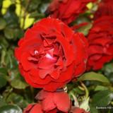 Crimson Cascade - Climbing Rose