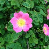 Rosa rugosa - Hedgehog Rose