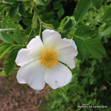 25 x Rosa rugosa 'Alba' (White Hedgehog Rose) 40-60cm bare root