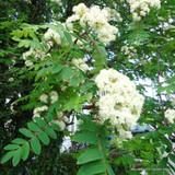 Sorbus aucuparia - Sorbus / Mountrain Ash