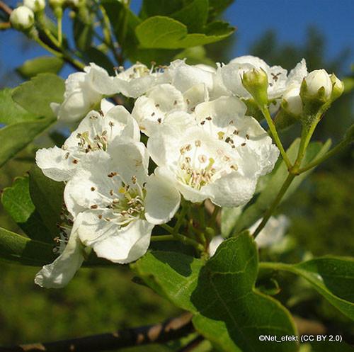 Crataegus 'Flore Plena' - Hawthorn