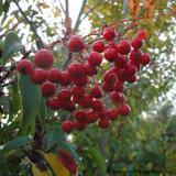 Sorbus aucuparia - Rowan
