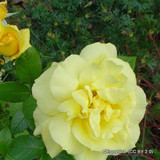 All Gold - Climbing Rose