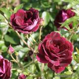 Etoile de Hollande - Climbing Rose