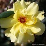 Golden Showers - Climbing Rose