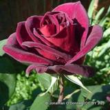 Guinee - climbing rose
