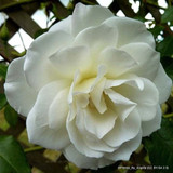 Iceberg - climbing rose