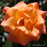 Joseph's Coat - Climbing Rose