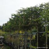 Pleached Horbeam - Carpinus betulus 14/16cm