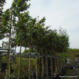 Pleached Horbeam - Carpinus betulus 16/18cm