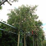 Pleached Quercus ilex