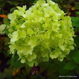 Hydrangea paniculata 'Little Lime' Dwarf Hydrangea in 3ltr pot