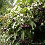 Holboelia coriacea, Sausage Vine- 3ltr pot.