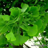 Ginkgo biloba tree in, Maidenhair tree - 4ltr pot