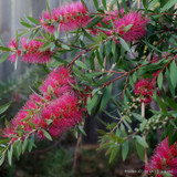 Callistemon 'Hot Pink', Pink Bottlebrush 5ltr pot
