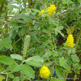 Argyrocytisus battandieri 'Yellow Tail', Pineapple Broom- 4ltr pot