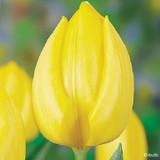 Tulip 'Kikomachi' - 100 or 250 Bulbs