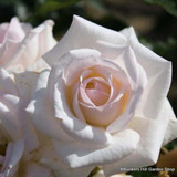 Rose 'Silver Wedding'