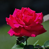 Rose 'Ena Harkness'