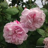Rose 'Maid of Kent'