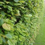 Carpinus betulus - Hornbeam