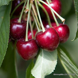 Cherry Summer Sun