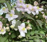 Clematis 'Mayleen' - 5ft on trelis
