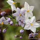 Solanum 'Creche du Pape' in 3ltr pot
